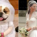 Bulldog vestido de Kate Middleton
