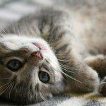 Toxoplasmose: a culpa não é do gato