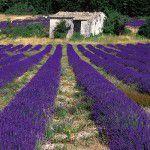 Trip Tips! Campos de lavanda na Provence