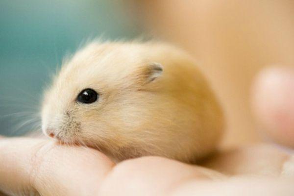 hamster2 Hamster - Dicas e cuidados
