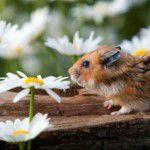 Hamster – Dicas e cuidados