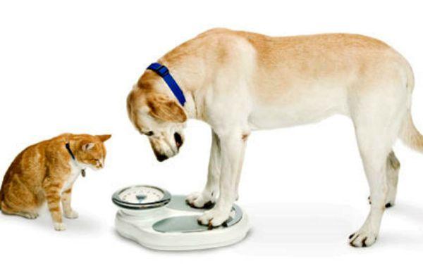 obesidadepets1-1 Obesidade em Cães e Gatos