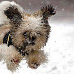 petsinverno_destaque3-150x150 Gripe Canina