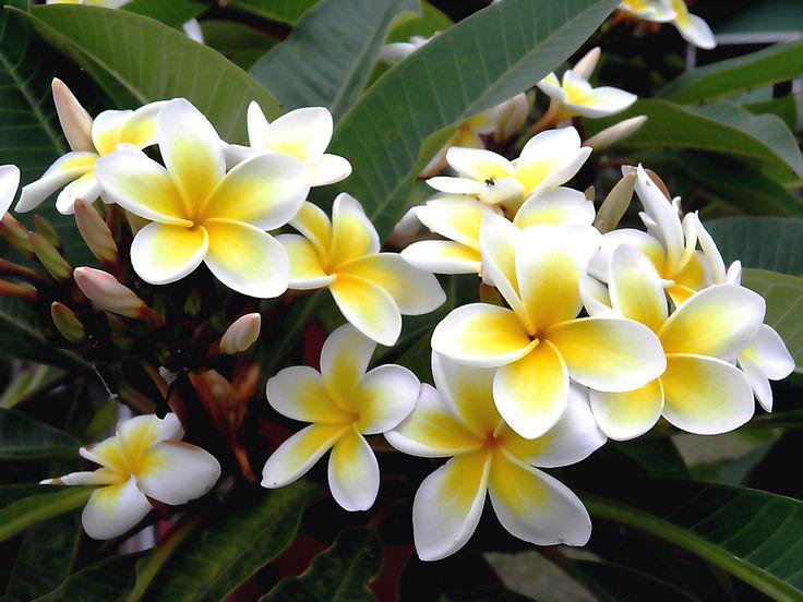 jasmim Significado das flores para buquê