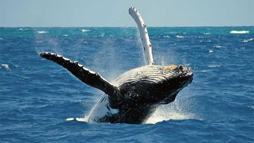 baleia-jubarte Roteiro para uma lua de mel paradisíaca na Costa do Sauípe